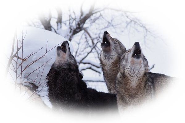 遠吠えしている狼(オオカミ)の夢
