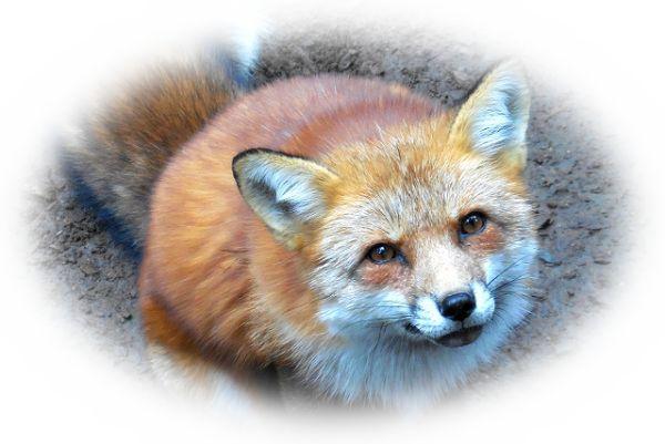 狐がしゃべる夢