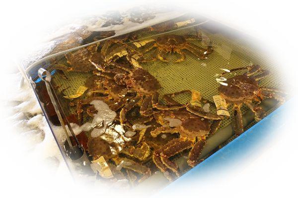 たくさんの蟹を見る夢(無数の蟹を見る夢)
