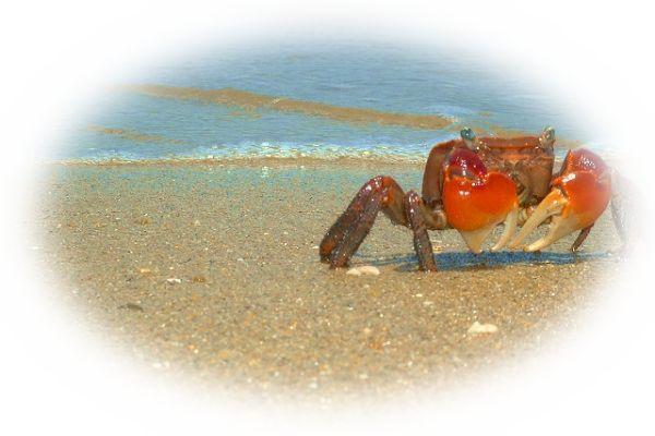 蟹が横歩きしている様子を見る夢(蟹がはっている様子を見る夢)