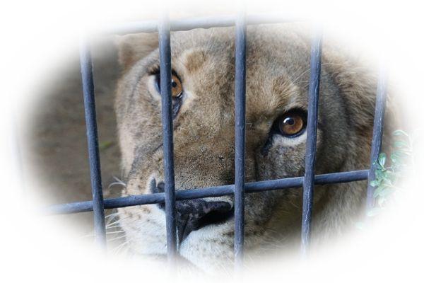 ライオンが檻の中に入っている夢