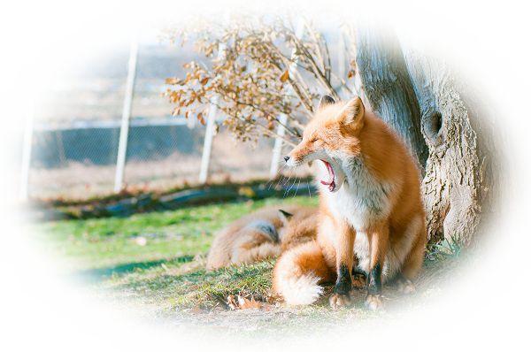 狐を助ける夢