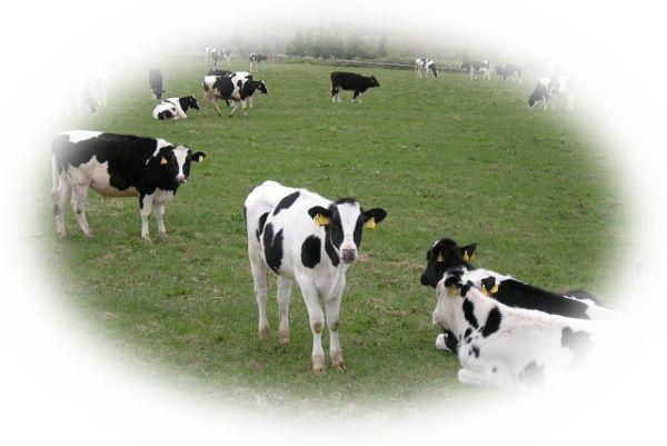 牛の群れを見る夢(牛をたくさん見る夢)