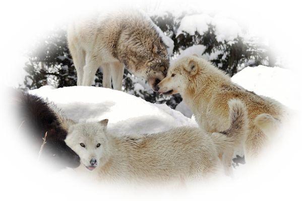狼の群れを見る夢