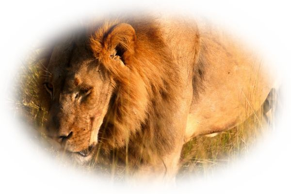 ライオンと戦う夢(ライオンと戦って勝つ夢)
