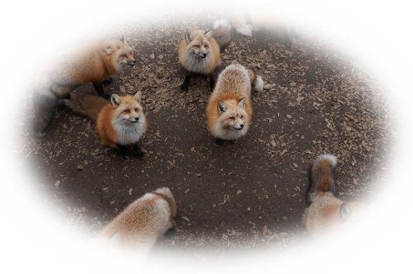 狐の群れを見る夢