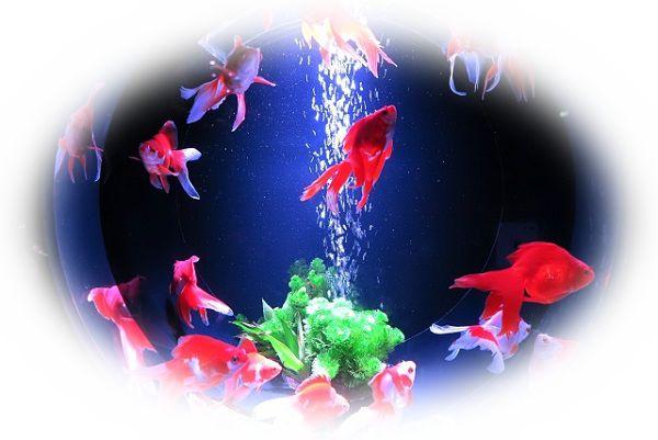 金魚が綺麗な水槽や金魚鉢で泳いでいる様子を見る夢