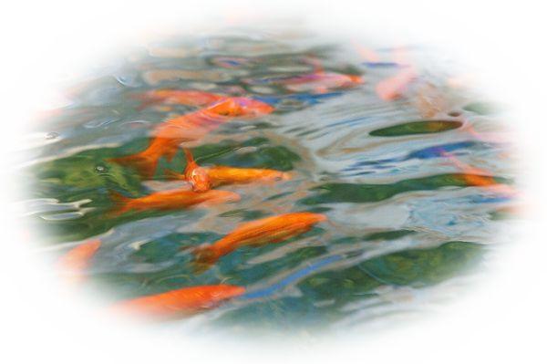 金魚が池で泳いでいる様子を見る夢