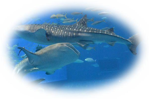 サメの群れを見る夢(サメをたくさん見る夢)