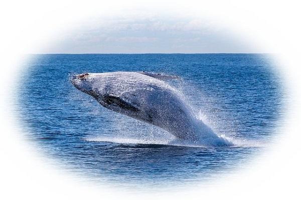 海上を勢いよく泳ぐクジラを見る夢(クジラがジャンプする夢)