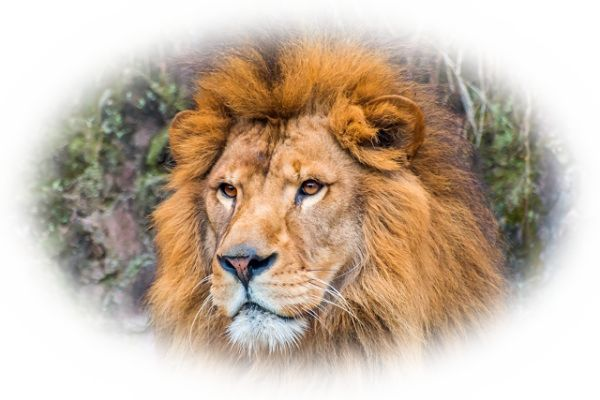 ライオンを見る夢(ライオンと出会う夢)