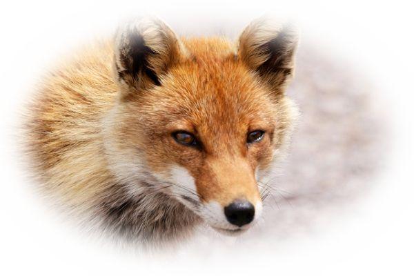 夢占い狐(きつね)の夢の意味25選!白狐は幸運だけど要注意?