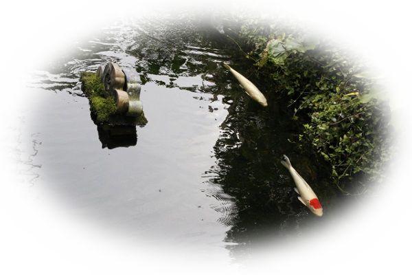 池にいる鯉を見る夢