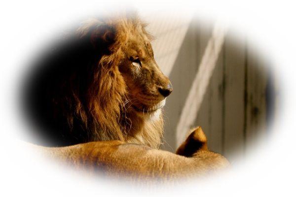 夢占いライオンの夢の意味とは?噛まれる夢など18選!
