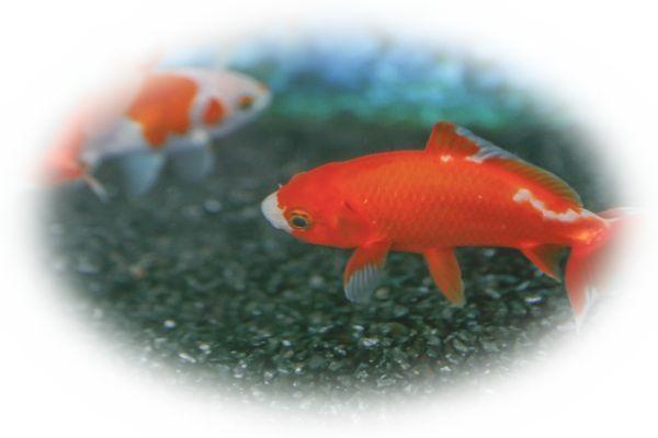 赤い金魚を見る夢(綺麗な金魚を見る夢)