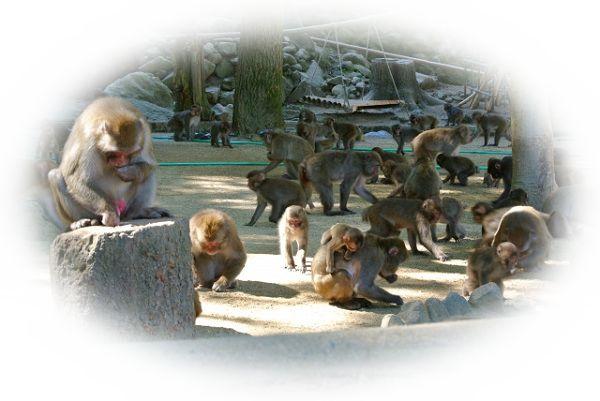 猿山の猿を見る夢(猿の群れを見る夢、猿をたくさん見る夢、猿の親子を見る夢)