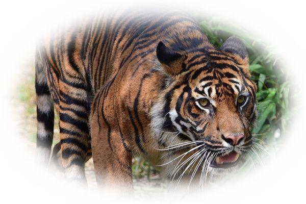 虎(とら)に襲われたり追いかけられたりする夢