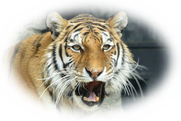 虎(とら)が吠える夢