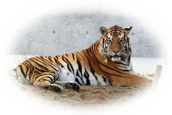 夢占い虎(とら)の夢の意味14選|虎は権力や勢いの象徴?