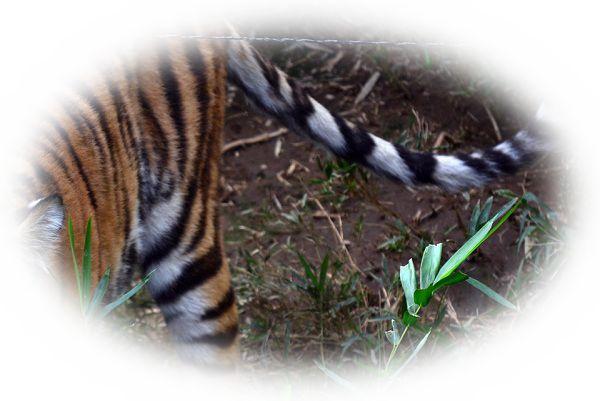 虎(とら)のしっぽを踏む夢