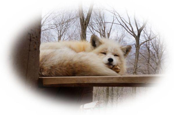 白い狐を見る夢