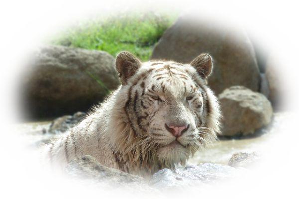 白い虎(とら)の夢
