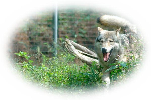 狼(オオカミ)が襲ってくる夢