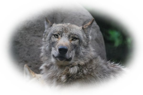 狼がしゃべる夢