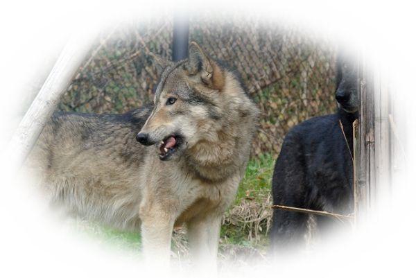 夢占い狼(オオカミ)の夢の意味18選|危険人物等の予兆?
