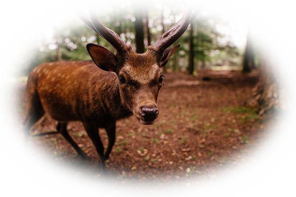 鹿に襲われる夢(鹿に噛まれる夢、鹿が角を振りかざして襲ってくる夢)