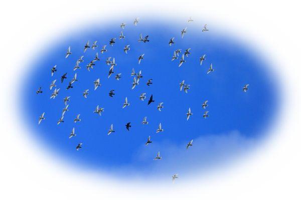 鳩に襲われる夢(鳩につつかれる夢、鳩を追い払う夢)