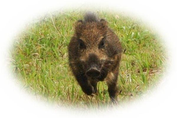 猪に追いかけられる夢(自分に猪が突進してくる夢、猪に襲われる夢)
