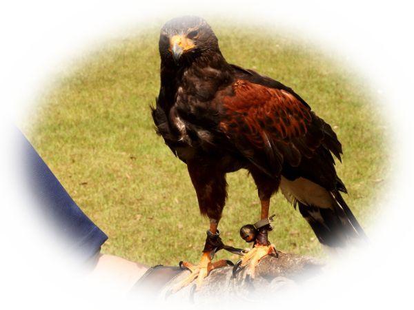 鷹匠になる夢(鷹を飼う夢、鷹を肩や腕にのせる夢)