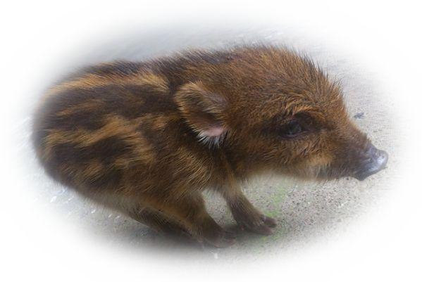 猪の出産を見る夢(猪の赤ちゃんを見る夢)