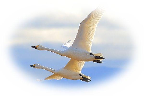 白鳥が飛び立つ夢