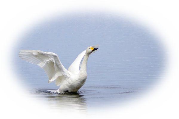 歌うように鳴く白鳥を見る夢