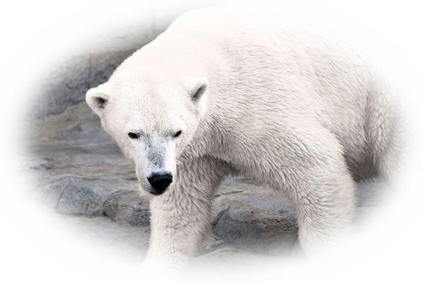 白熊と遭遇する夢
