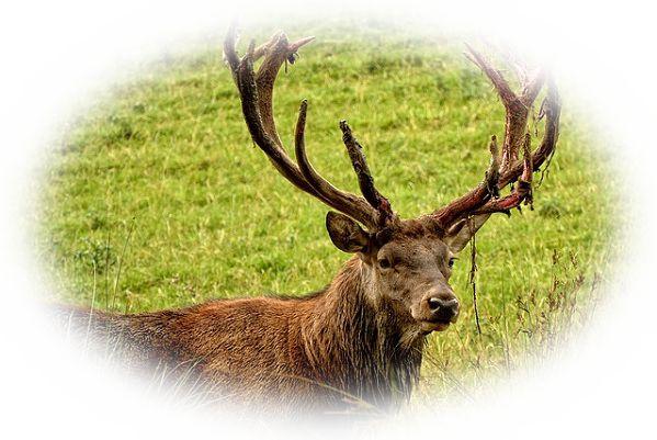 大きい角が生えている鹿を見る夢(立派な角が生えている鹿を見る夢、鋭い角が生えている鹿を見る夢)