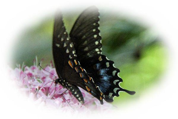 色々な色の蝶々を見る夢(虹色、白色、黒色、青色、紫色、黄色、ピンク)