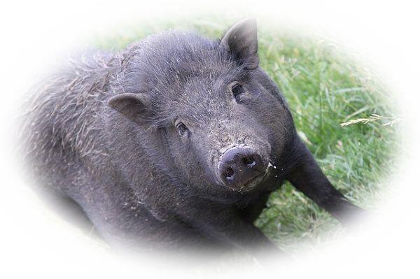 暴れる猪を見る夢(凶暴な猪を見る夢)