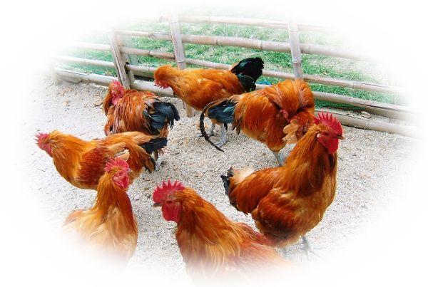 たくさんの鶏を見る夢
