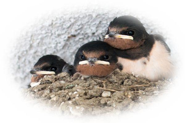ツバメの雛を捕まえる夢(ツバメの赤ちゃんを見る夢)