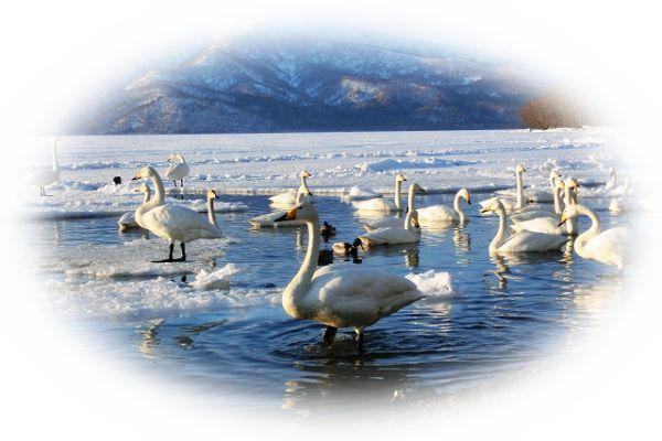 湖で白鳥の群れを見る夢(湖に訪れた白鳥にエサをあげる夢)