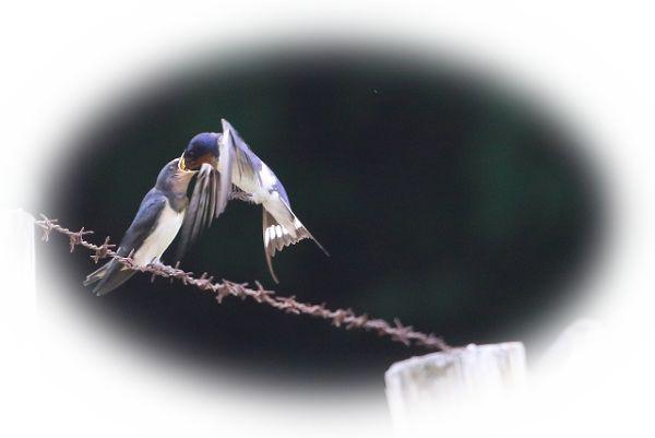 ツバメの巣立ちを見る夢