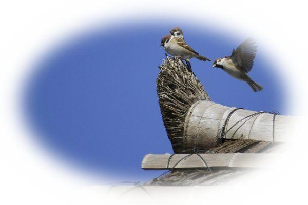 雀が屋根などに雀の巣をつくる夢