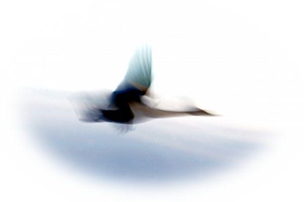 白鳥に乗って高く飛ぶ夢(白鳥に乗って落ちる夢)