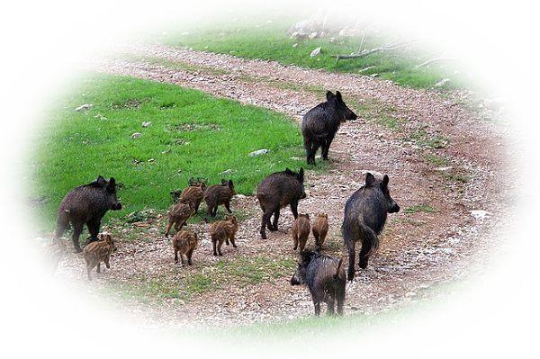 猪に送迎される夢(猪の背に乗る夢)