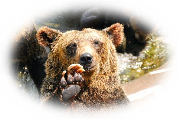 夢占い熊(くま)の夢の意味33選!良くも悪くもマザコンの証?