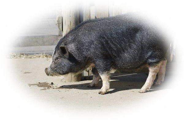 大きな豚を見る夢(太った豚を見る夢、黒豚を見る夢)