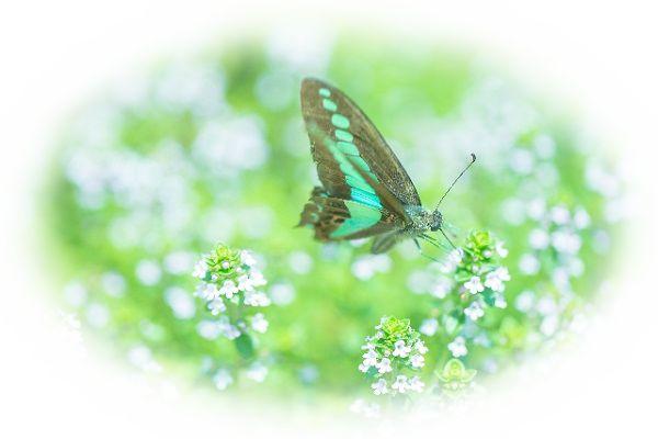 蝶々の夢占い